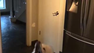 Poodle catches food in kitchen