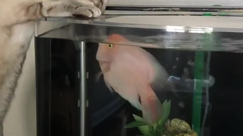 Brave fish defends home from nosy cat