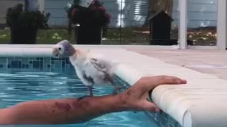 Baby Parrot Joins Human For Pool Time Fun