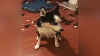 Funny HUSKY ★ HUSKIES ARE TOO CUTE! [Funny Pets]  - Video