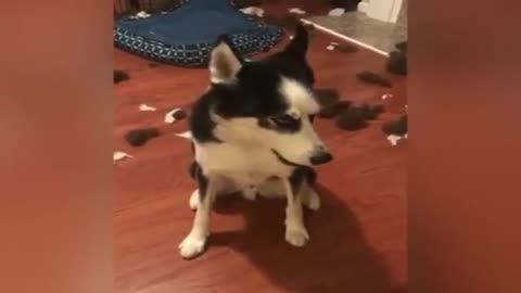 Funny HUSKY ★ HUSKIES ARE TOO CUTE! [Funny Pets]