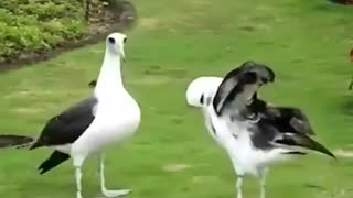 Funny Birds  - Video