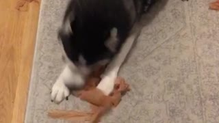 Black husky fetching and ripping paper apart  - Video
