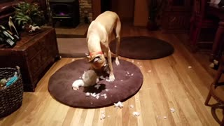 Busted! Great Dane gutting teddy bear