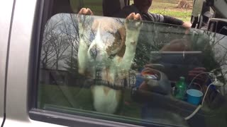 Beagle puppy hangs on car window - Video