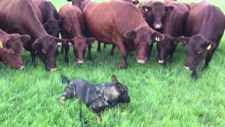 14 curious cows closely investigate relaxed dog - Video