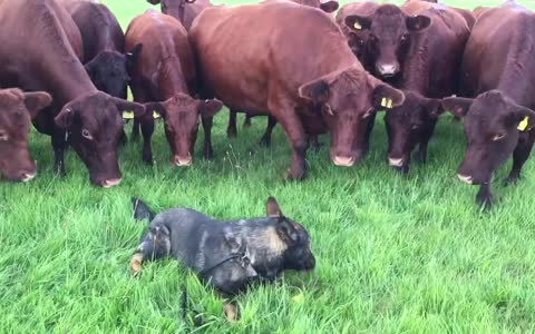 14 curious cows closely investigate relaxed dog