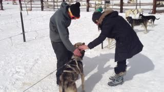 loading up the dogs for a good ole sled ride - Video