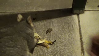 Possum Has a Snack - Video