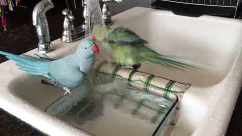 Parrots love to shower like humans