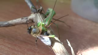 Praying Mantis eats honeybee  - Video
