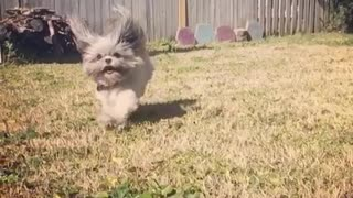 Slow motion grey dog runs toward camera  - Video