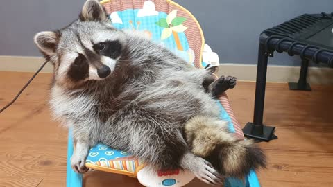 Raccoon is lying down and trimming his beard neatly.