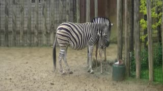 Racing zebra foal  - Video