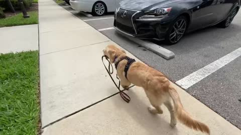 Clever Golden Retriever walks himself with his own leash