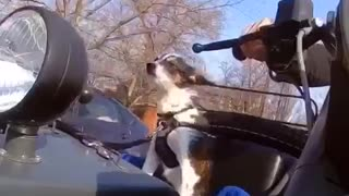 Dog rides around in motorcycle  - Video