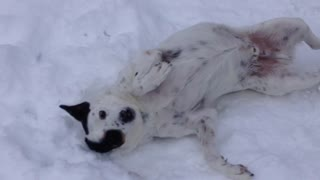 Do you think this dog enjoys the snow? - Video