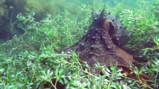 Octopus swimming - HD video - 1