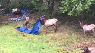 Elk Antlers Tangled in Tarp - Video