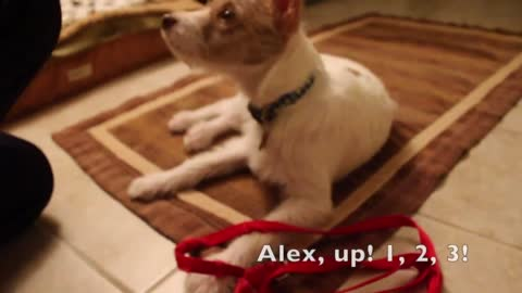 Jack Russell Terrier puppy learns new tricks