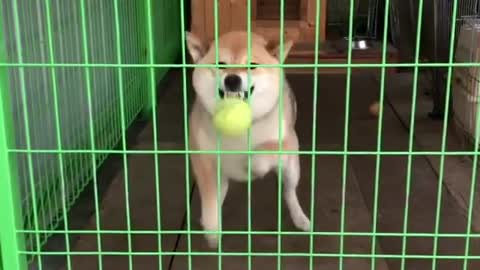 Clueless dog tries to catch ball from behind cage