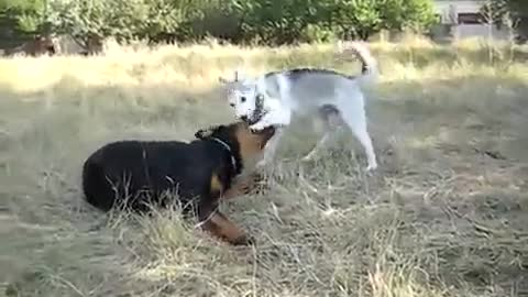 Rottweiler and Husky playing outside..
