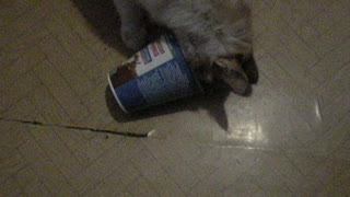 The cat licks a can of sour cream.