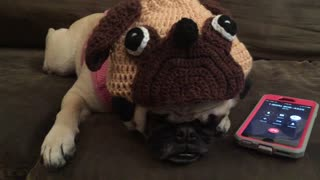Pug On Hold For Customer Service