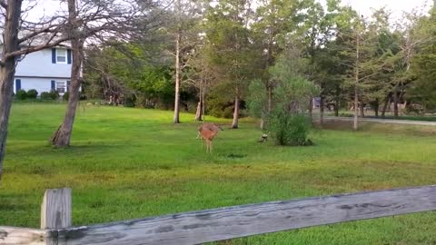 Dozen Of Playful Deer Happily Chasing Each Other