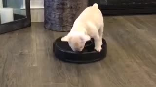 Cachorrito sobre Roomba te alegrará el día - Video