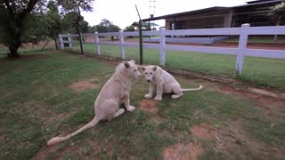 Adorable White Lion Cubs Enjoy Playtime Together  - Video