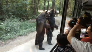 Standing Bears Entertain Tourists on Bus - Video