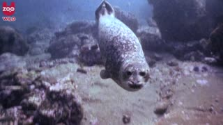 Seal Shows Off - Video