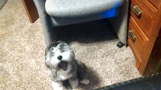 Puppy visits owner's office - Video