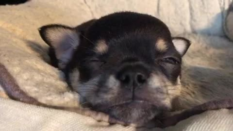 Chihuahua puppy gets a Rude awakening