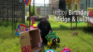 Chimps once confined to life in a lab celebrate their birthdays at their new home - Video