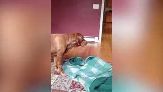Dog Loves To Be Burritoed In Blankets - Video