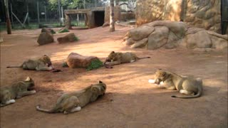 Sneaky lion cub attempts to snatch food from siblings - Video