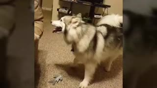 Lukas The Husky Plays With Jackie Lee The Cat - Video