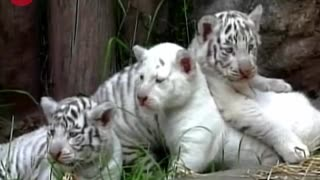 White Tiger Cubs - Video