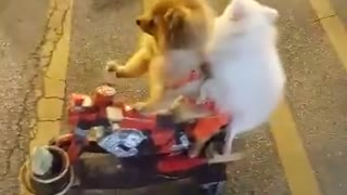 Two dogs riding a scooter - Video