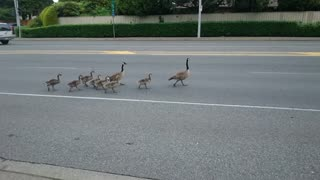 Why Did the Ducks Cross the Road? - Video