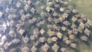 A Fever Of Stingrays in Tampa - Video