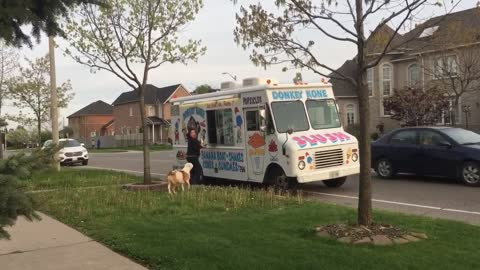 Pit Bull Patiently Waits In Line For Ice Cream