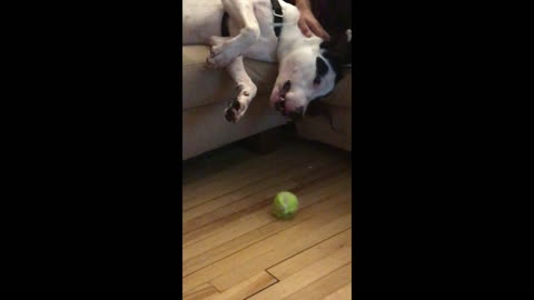 Hilariously huge dog cuddles while falling off the couch to get his ball