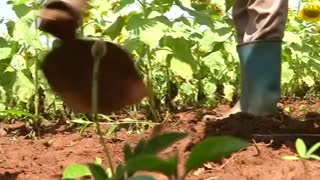 Uganda: the new agricultural goldmine - Video