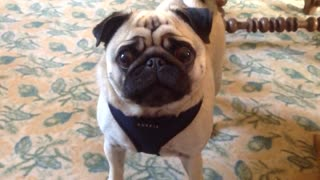 Pug makes hilarious sounds when it's food time! - Video