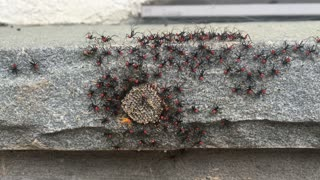 Assassin Bugs, Freshly Hatched - Video