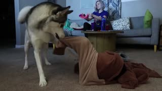 Dog Gets Trapped In Onesie, His Husky Sister Comes To The Rescue