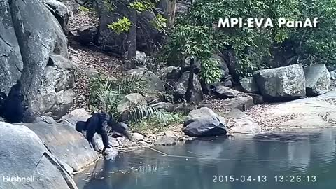 Chimps caught on camera fishing for algae